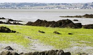 vertes dans la baie de Saint Brieuc a maree basse  pollution, environnement