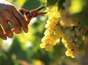 France, Vaucluse (84), Rasteau, vin de la vallée du Rhône, vendange